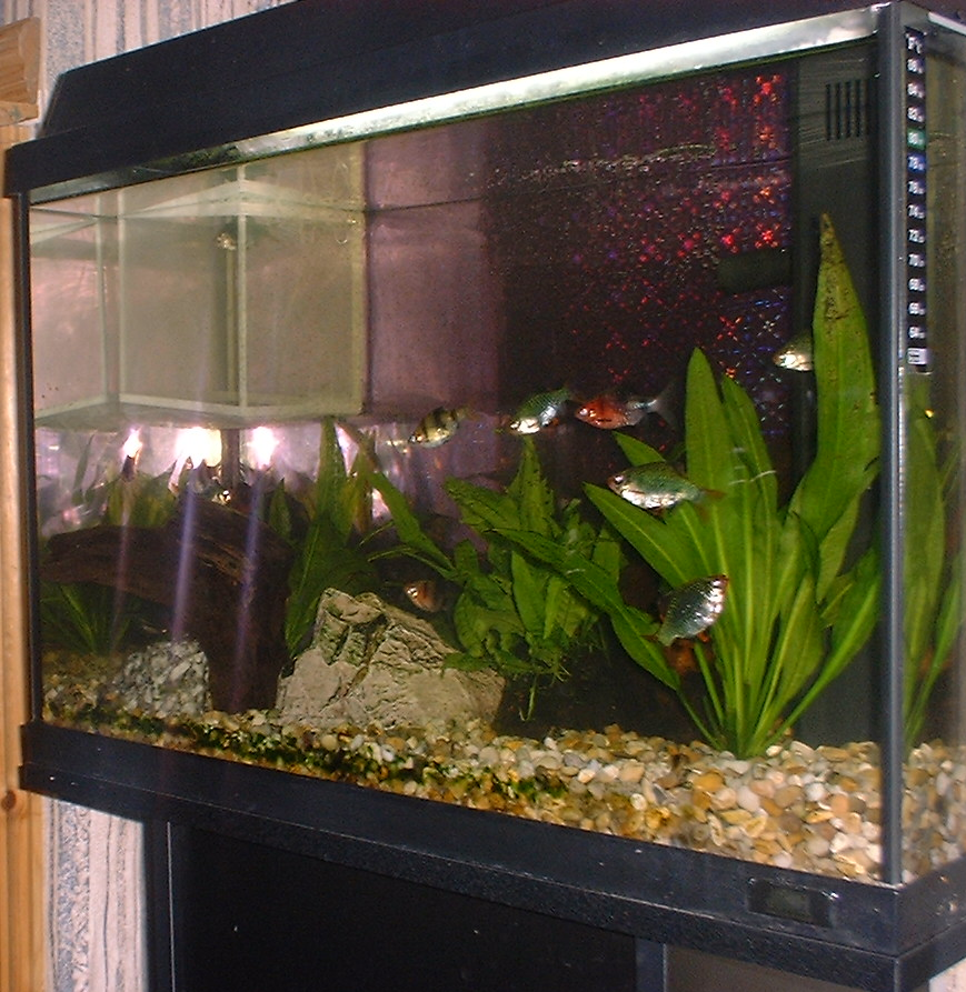 ... pangasius catfish 7 green tiger barbs 6 black ruby barbs pond snails