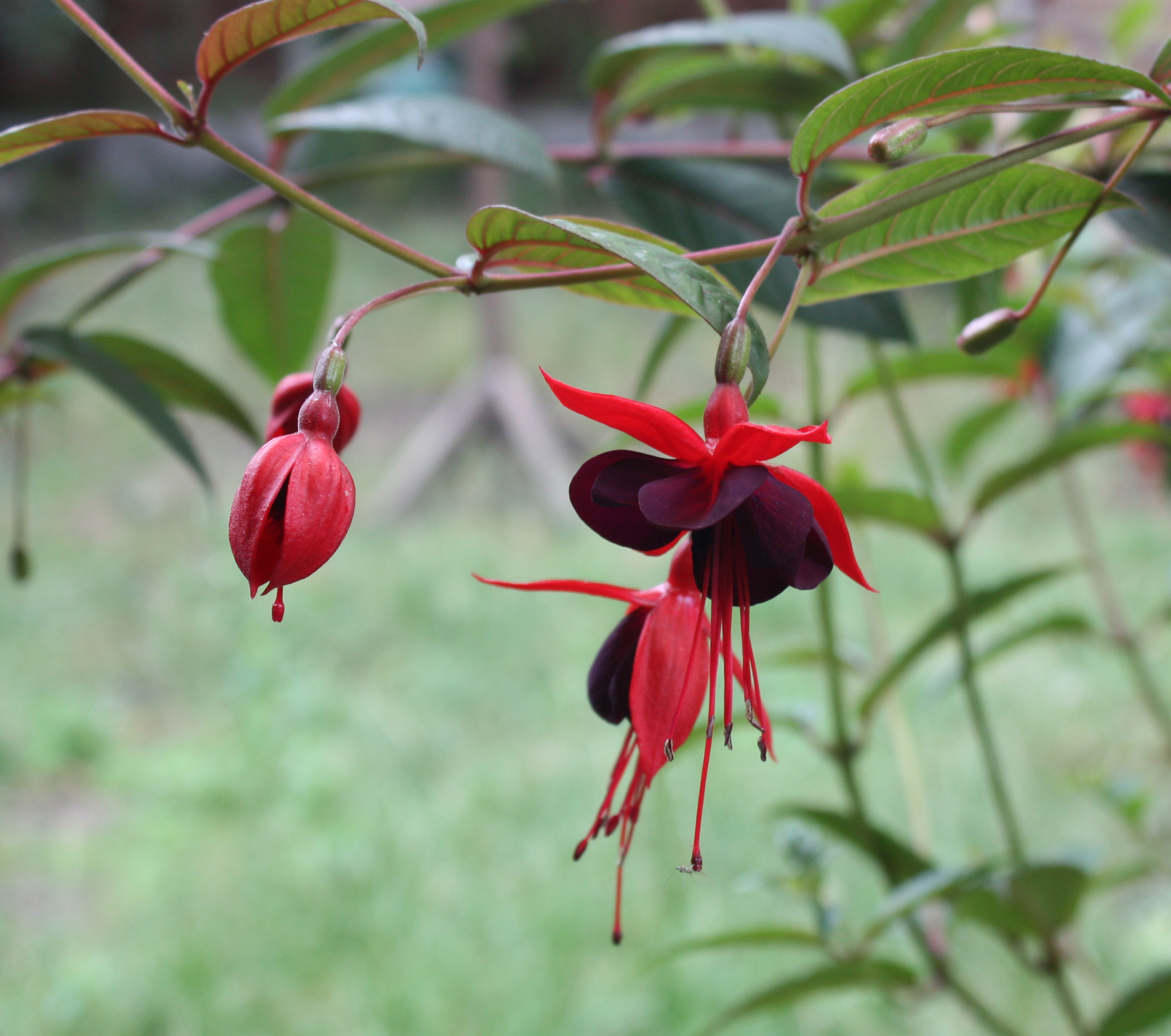 The Gorge Fuchsias